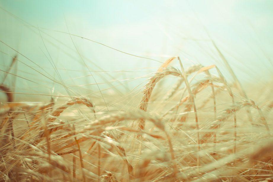 Grain Agriculture Green Harvest Food Wheat Farm